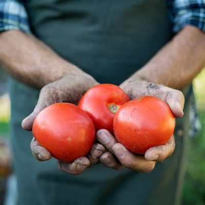 farmer-hands-holding-tomatoes-Y9KWGZA