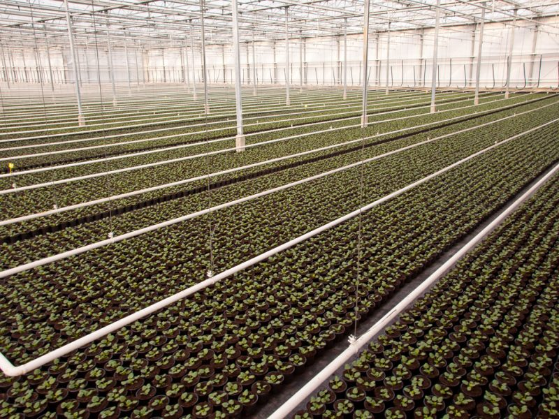 Crops are Growing in a Nursery Greenhouse in the Netherlands